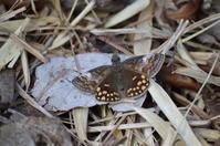 ミヤマセセリ♀3月24日北遠にて - 超蝶