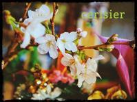 桜をもらった! - HAPPYさんのにんまり日記