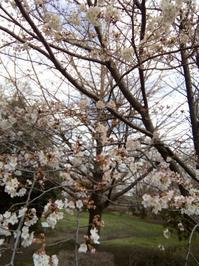 桜満開の日〜ドラマティコのランチ - ここどんな町