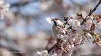 桜花を咥えたニュウナイスズメ - 雅郎の花鳥風月