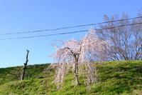 電線が無ければ・・・満開に近い枝垂桜 - 平凡な日々の中で