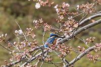 桜にカワセミ - fumufumu日記