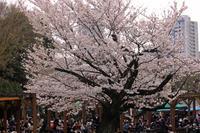 上野動物園でも花見できますよ - 動物園のど!