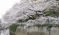 桜だより2018@神田川 - 笑顔がいちばん ♪