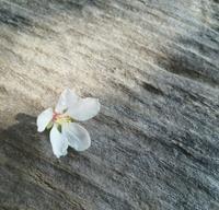 ゆすらの花咲いた… - 侘助つれづれ