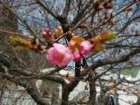 桜を見ました - 冬青窯八ヶ岳便り