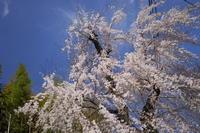 「咲いた!!!-山崎聖天観音寺-」 - ほぼ京都人の密やかな眺め