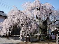 地蔵院のしだれ桜 - ichibey日々の記録