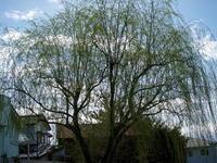 この木なんの樹 - エンジェルの画日記・音楽の散歩道