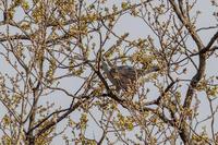 オオタカ 枝折の季節 - 夫婦でバードウォッチング