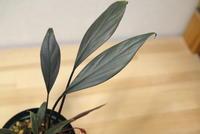 "Homalomena sp. ""Payakumbuh Sumatera"" - PlantsCade -2nd effort"