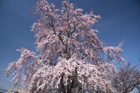 近場で桜 - 季節の映ろひ