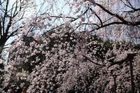 しだれの早春東京六義園シダレザクラ2018/3/24 - 「せ」の写真集 刹那の光
