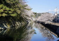桜満開 - 日々綴り