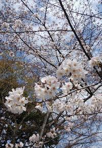 横浜の桜 - 横浜元町のネイルサロンMAUVEの情報サイト~revue au Mauve~