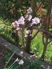 アーモンドの花とその他… - いととはり