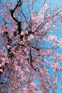 180325桜(2) - 一人の読者との対話