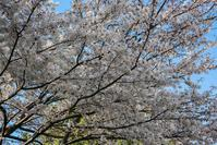 180325桜(3) - 一人の読者との対話