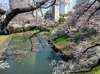 九段下、桜満開。想像を絶する混雑ぶりです。 - 設計事務所 arkilab