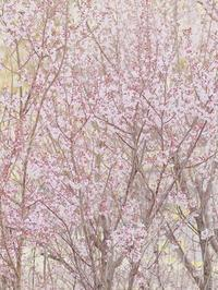 早咲きの桜 - Photo of the Weekend