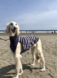 大洗サンビーチでサルーキ散歩♪ - NILE Saloon Diary