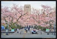 東工大の桜 Part 1 - TI Photograph & Jazz