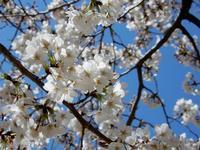 桜に始まり、桜に終わる(Noh play full of cherry blossoms) - ももさへづり*やまと編*cent chants d'une chouette (Yamato*Japon)
