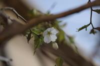 庭の花:開花宣言 - (鳥撮)ハタ坊:PENTAX k-3、k-5で撮った写真を載せていきますので、ヨロシクですm(_ _)m
