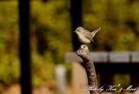 「ニシオジロビタキ」さんとの出会い^^ 在庫から・・ - ケンケン&ミントの鳥撮りLifeⅡ