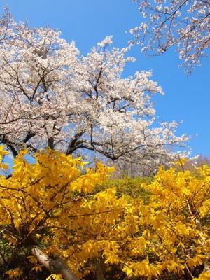 吾妻山公園の桜 - 芽々のちゃぶ台