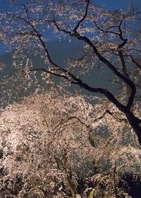夜桜 - ほほえみ