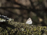 春の房総-2  ルーミスシジミとゲンジボタル幼虫探索 - オヤヂのご近所仲間日記