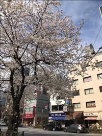 人形町の桜 - 人形町からごちそうさま