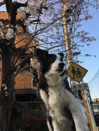 春なのに - 犬とお散歩