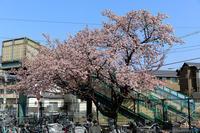 京都のさくら2018 JR桃山駅の桜 - ぴんぼけふぉとぶろぐ2