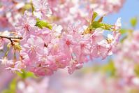 鶴見緑地の河津桜とメジロ@2018-03-14 - (新)トラちゃん&ちー・明日葉 観察日記