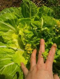 自縄自縛の白菜なばな - ミジンコ農園