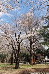 九品仏浄真寺の桜が満開に・・・ - 四季彩の部屋Ⅱ