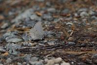 地元でスギタニルリシジミを探す - 蝶超天国