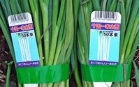 故郷の園芸店で購入した十国一本太葱の苗植え付け3・25 - 北鎌倉湧水ネットワーク