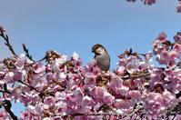 安行寒桜にニュウナイスズメ - 気ままな生き物撮り