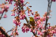 早咲き桜とメジロとヒヨドリ Byヒナ - 仲良し夫婦DE生き物ブログ