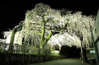 大紀町のしだれ桜(夜) - みちはた写真館フォトギャラリー