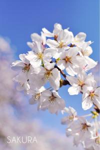 桜散歩🌸 - Awesome!