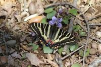 ギフチョウ春の女神と対面 - 蝶のいる風景blog