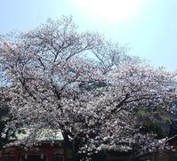 厳島神社の桜 - 横浜元町のネイルサロンMAUVEの情報サイト~revue au Mauve~