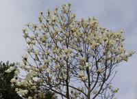 「ハクモクレン」と「シモクレン」 - hebdo時季(とき)の花
