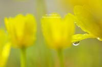 雨の日の -ヒメリュウキンカ- - It's only photo
