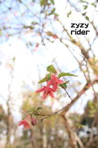 花期が長いウグイスカグラ - ジージーライダーの自然彩彩
