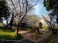団地の桜 - 2万ポイントの夜景